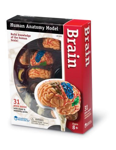 Anatomický model mozku